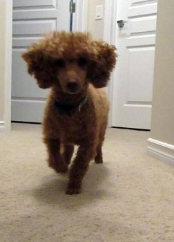 Toy Poodle 28 by Andahliasaur