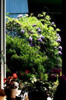 The Wisteria in the Window by Geak-of-Nature