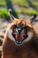 caracal by Anestis9985