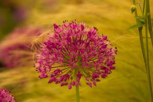 Aliums at Chelsea by parallel-pam