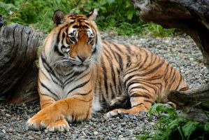 Bengal Tiger by DarrellGraves