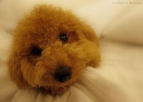 Jaffa, My Toy Poodle by redfiretrees