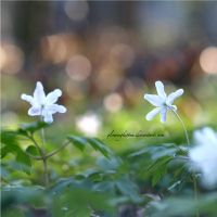 wood anemone by glowingkitten