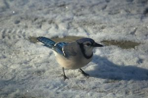 Snowy Blue Jay 4 by toshema