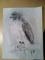 Hawk by Coolb3rt