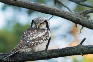 Northern Hawk Owl = like superstar by ErikEK