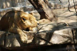 Sleeping lioness by deliquescing