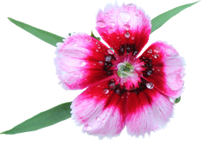 Sweet William PNG by Thy-Darkest-Hour
