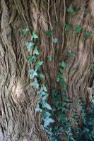 Textures - Ivy Trunk 2 by Monumnas-Stock