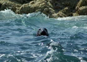 Seal by davejsy