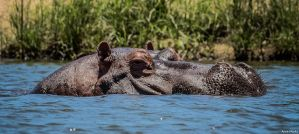Stalking Hippo by AnneMarks