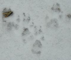 Paw-Prints in the Snow by crotafang