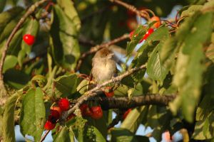 Juvenile and Cherries by turlough