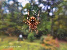Barn Spider by jim88bro