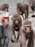 Baby Baboon by PassionAndTheCamera
