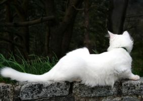 Turkish Angora by NaviStock
