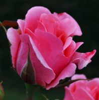Sweet Pink Rose by Forestina-Fotos