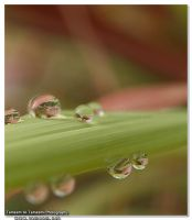 Dew Drops by Olympus by Tameemy