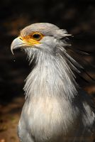 Secretary Bird II by rgphoto777