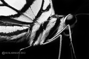 bw Butterfly by karman87