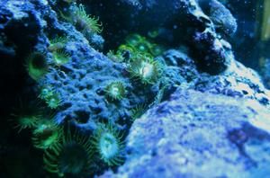 Corals by damphyr