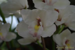 Orchid II by friedapi