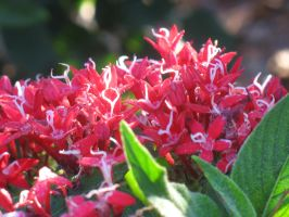 Red Stars by beverly546
