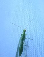 Lacewing by dtw42