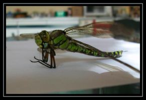 378. dragonfly in the kitchen by gangahimalaya