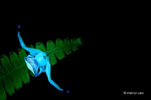 UV Fluorsence Crab Spider by melvynyeo