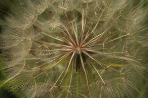 Salsify in Seed by FroglovinPhotogirl