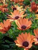 Copper Daisy 2 by theNanna