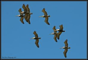 Pelicans by AirshowDave