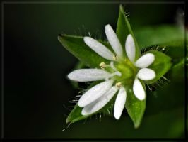 A really small flower... by Yancis