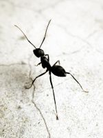 Ant by rongpi21