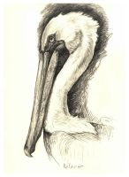 hopefully the pelican by lindseydearnley