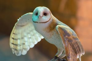 Barn Owl by McMeggieG