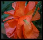 Orange Poppy by assimilated