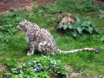 2012 - Snow leopard 8 by Lena-Panthera
