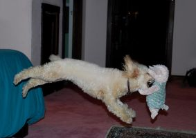 Attack Poodle by BJOERLING
