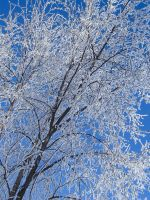 Frosted branches by fourrpaws