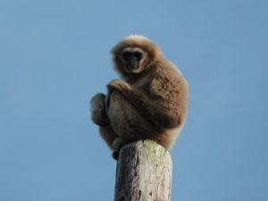 Lar Gibbon by PikitiaPhotography
