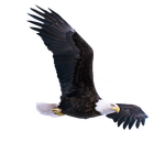 Eagle stock PNG by Shadow-of-Nemo