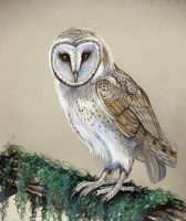 Barn Owl by HouseofChabrier