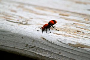 Cow Ant by Frostygirl696