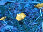 Blue Buttercups by LovedPurpleAngelWife