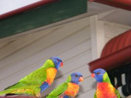 rainbow lorikeet 5 by sealkisses