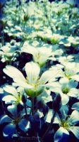 White flowers by Narcissa-Mortis