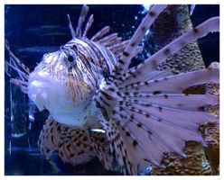 Lionfish by AllyCat1994