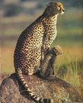 Cheetah by animals-pictures